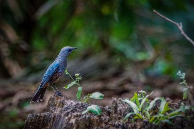 Blaumerle (M) / Blue Rock Thrush