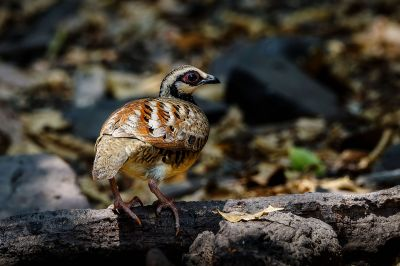 Braunbrust Buschwachtel / Bar-backed Partridge (Brown-breasted Hill-partridge)