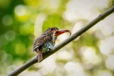 Wellenliest (W) / Banded Kingfisher
