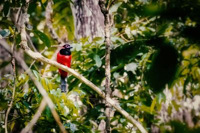 Diardtrogon / NEAR THREATENED