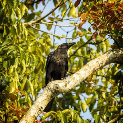 Dickschnabelkrähe / Large-billed Crow - Jungle Crow