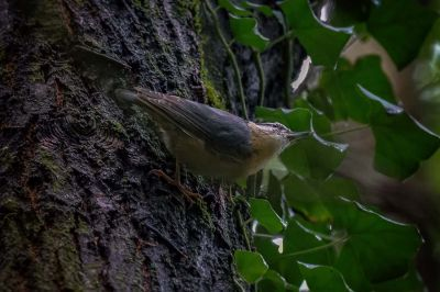 Kleiber / Nuthatch - Wood Nuthatch - Eurasian Nuthatch