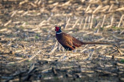 Fasan (M) / Common Pheasant