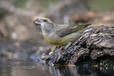 Fichtenkreuzschnabel (F) / Red Crossbill