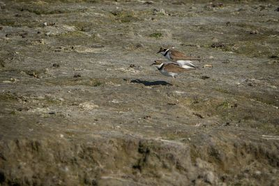 Flussregenpfeifer (Paarung) / Little Ringed Plover
