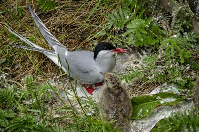Flußseeschwalbe (Adult, Juv) / Common Tern