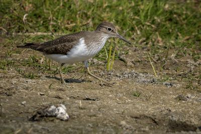 Flussuferläufer / Common Sandpiper