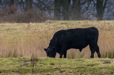 Galloway (M) / Galloway Cattle