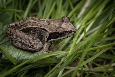 Grasfrosch / Common Frog