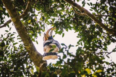 Doppelhornvogel (M) / Great Hornbill
