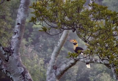 Doppelhornvogel (W) / Great Hornbill