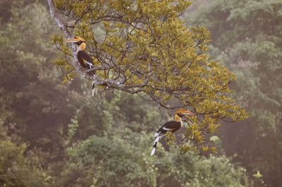 Doppelhornvogel (M&W) / Great Hornbill