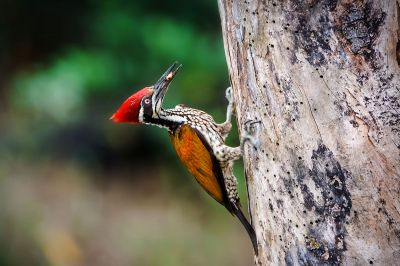 Sultanspecht (M) / Greater Flameback