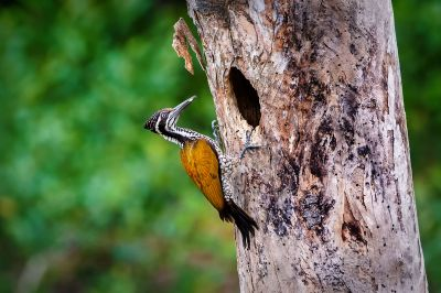 Sultanspecht (W) / Greater Flameback