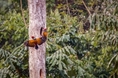 Sultanspecht (2M) / Greater Flameback