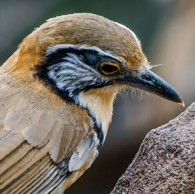 Brustbandhäherling / Greater Necklaced Laughingthrush