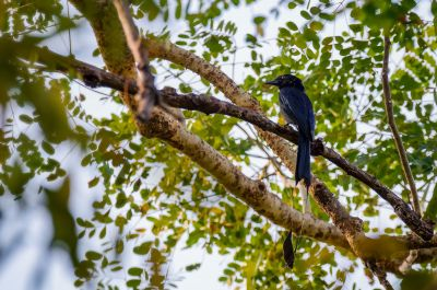 Flaggendrongo / Greater Racket-tailed Drongo