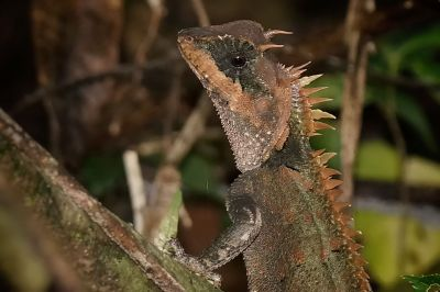 Riesen Nackenstachler - Grosser Nackenstachler / Greater Spiny Lizard - Armored Pricklenape - Peninsular horned tree lizard