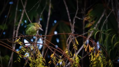 Grünohr-Bartvogel / Green-eared Barbet