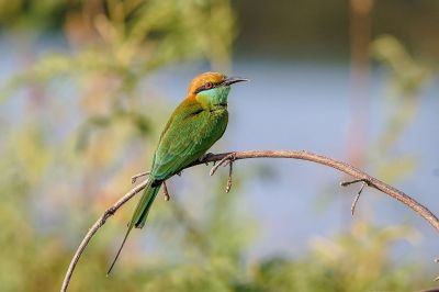 Smaragdspint / Little Green Bee-eater
