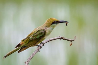 Smaragdspint (J) / Little Green Bee-eater