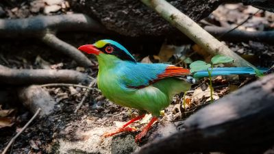 Jagdelster / Common Green Magpie