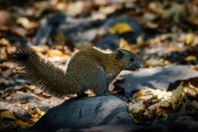 Graubauchhörnchen / Grey-bellied Squirrel