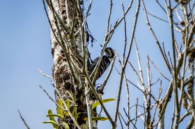 Grauscheitelspecht / Grey-capped Pygmy Woodpecker