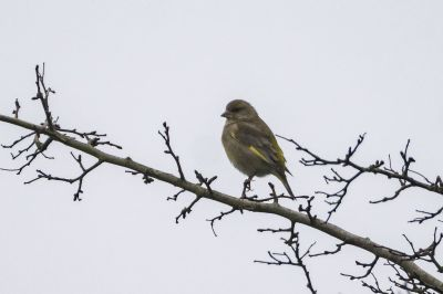 Grünfink / Greenfinch