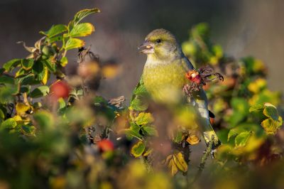 Grünfink - Grünling / European Greenfinch