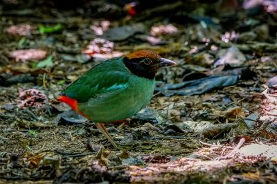 Kappenpitta / Hooded Pitta