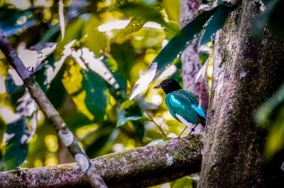 Kappenpitta (muelleri) / Hooded Pitta