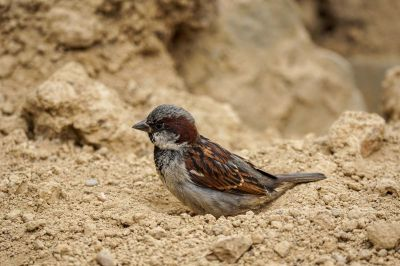 Haussperling, Spatz (M) / House Sparrow
