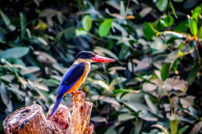 Kappenliest / Black-capped Kingfisher