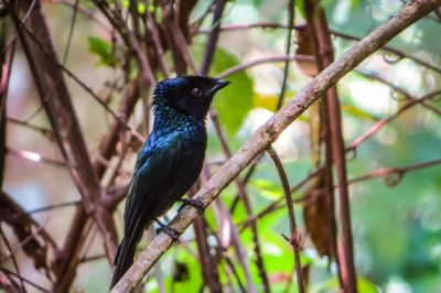 Spateldrongo (M) / Lesser Racket-tailed Drongo