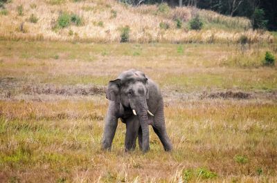 Indischer Elefant / Indian Elephant