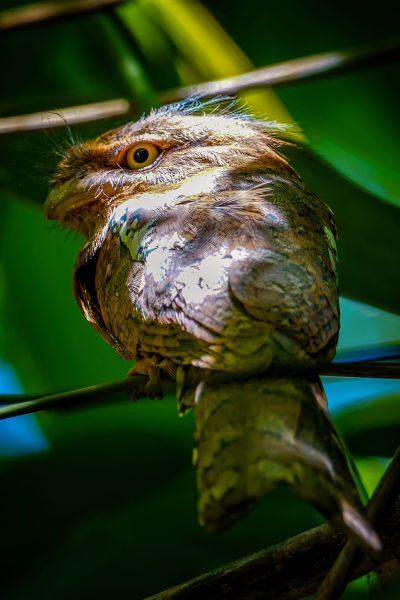 Javafroschmaul / Horsfield's Frogmouth - Javan Frogmouth