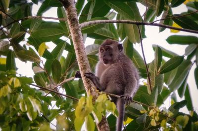 Javaneraffe - Langschwanzmakak (J) / Crab-eating Macaque - Long-tailed Macaque