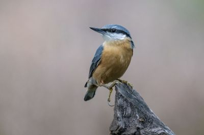 Kleiber - Spechtmeise / Eurasian Nuthatch -  Wood Nuthatch