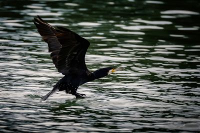 Kormoran / Great Cormorant