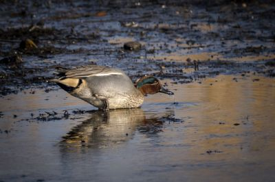 Krickente (M) / Common Teal