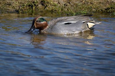 Krickente (M) / Eurasian Teal - Common Teal