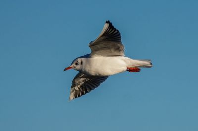 Lachmöwe / Black-headed Gull
