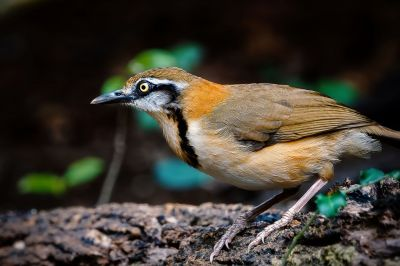 Lätzchenhäherling / Lesser Necklaced Laughingthrush