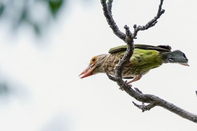 Streifenbartvogel / Lineated Barbet