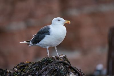 Mantelmöwe / Great Black Backed Gull