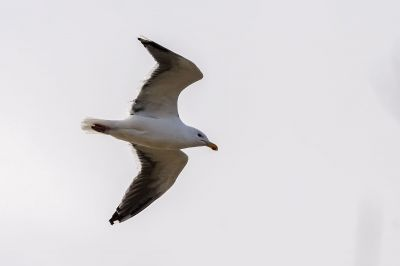 Mantelmöwe / Great Black-backed Gull - Greater Black-backed Gull