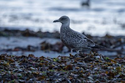 Mantelmöwe (Juv) / Great Black Backed Gull