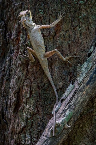 Masken-Nackenstachler / Masked Spiny Lizard - Boulenger's pricklenape - Masked horned tree lizard