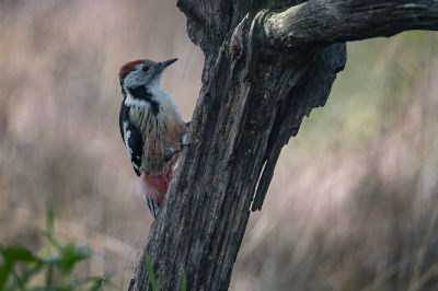 Mittelspecht / Middle Spotted Woodpecker